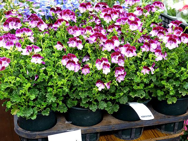 第160回春のびっくり市花鉢管理法