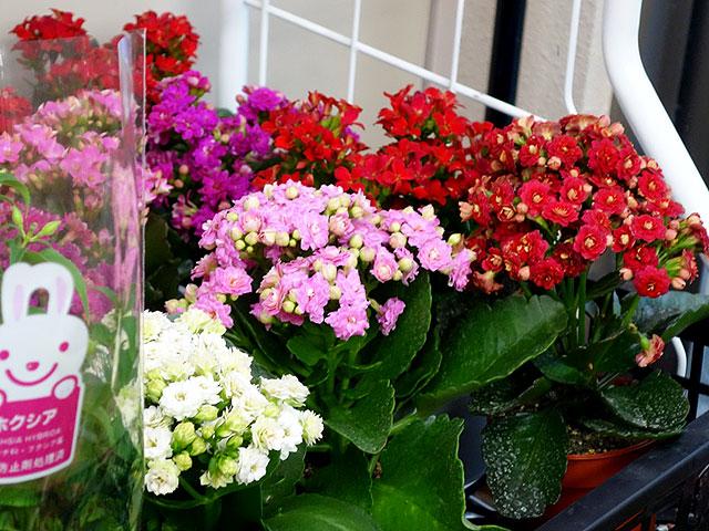 2014年びっくり市花鉢プレゼント・カランコエ