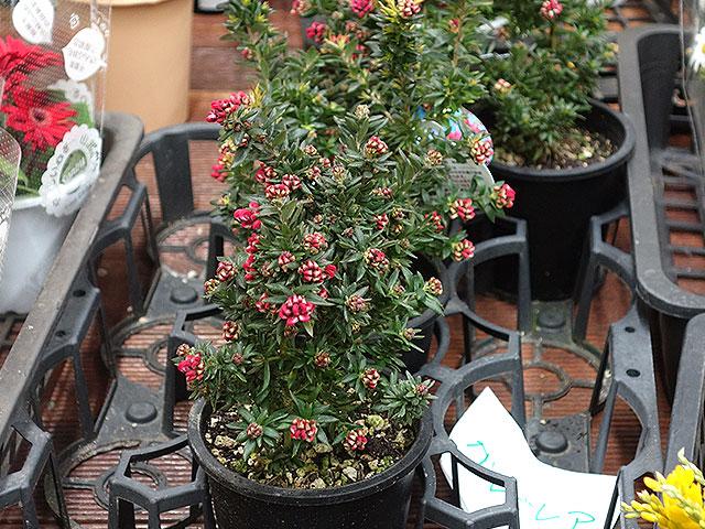 2015年びっくり市花鉢育て方(グレビリア)