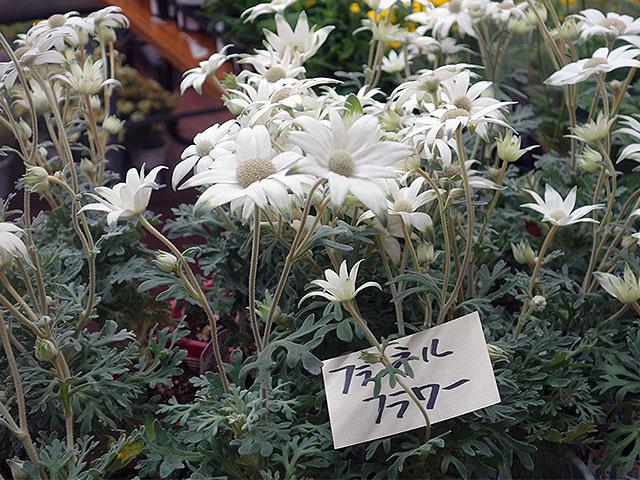 2015年びっくり市花鉢プレゼント・フライネルフラワー