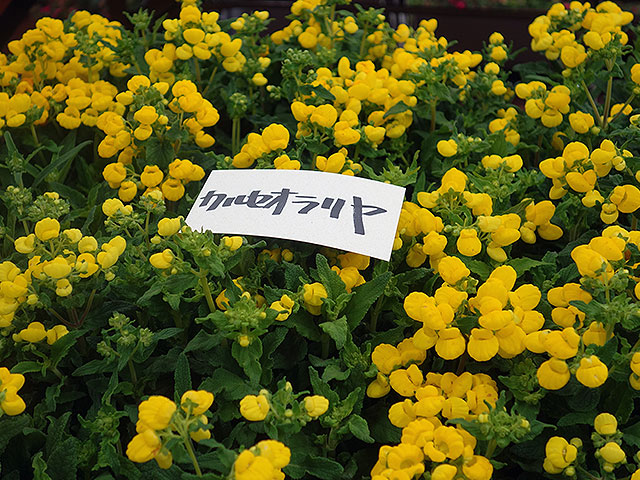2015年びっくり市花鉢プレゼント・カルセオラリア