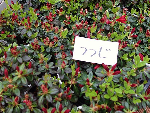 2015年びっくり市花鉢育て方(ツツジ)