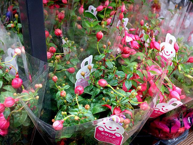 2014年びっくり市花鉢プレゼント・ホクシア