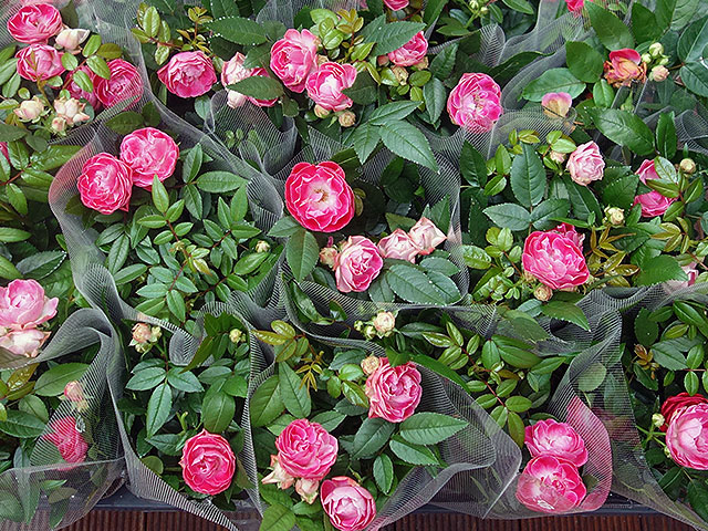 2015年びっくり市花鉢育て方(アザレア)