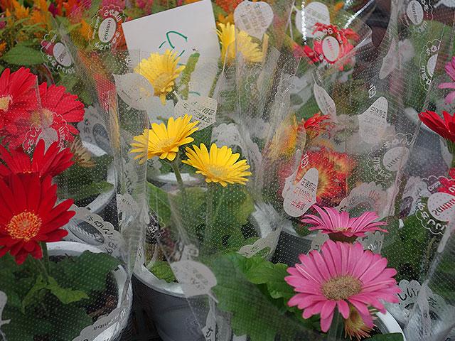 2015年びっくり市花鉢プレゼント・ガーベラ