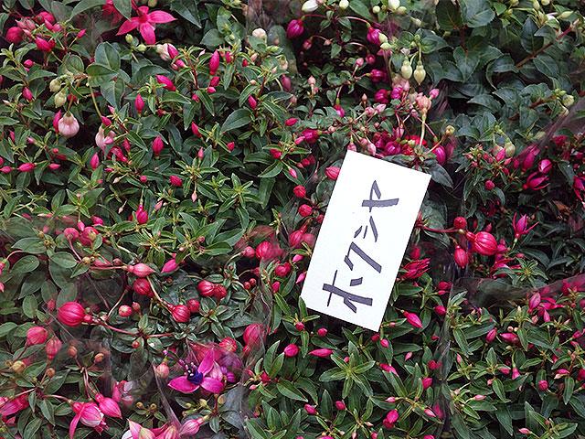 2015年びっくり市花鉢育て方(ホクシア)