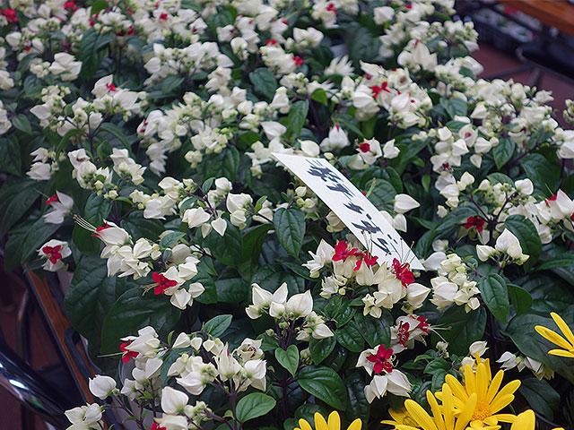 2015年びっくり市花鉢育て方(源平かずら)