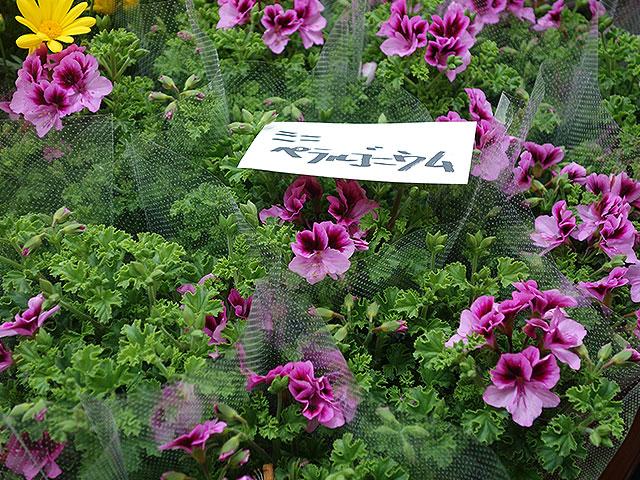 2015年びっくり市花鉢プレゼント・ミニペラルゴニウム